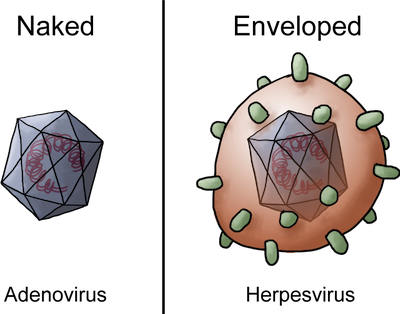 A schematic showing an icosahedral virus, with and without an envelope.