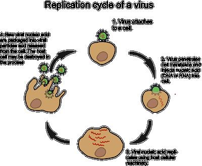 biology viral entry shmoop biology