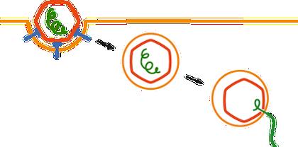 Biology Viral Entry - Shmoop Biology
