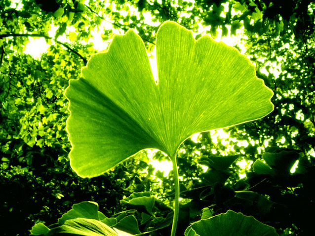 Ginkgo trees are easily recognizable by their fan-shaped leaves.