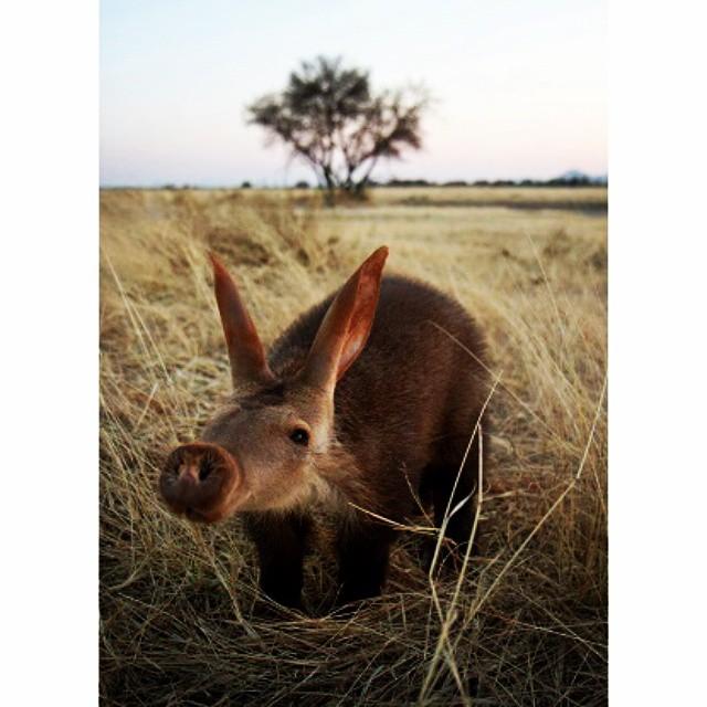 A close up photo of an aardvark.