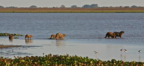 A photograph of half a dozen capybaras wading across a lake.