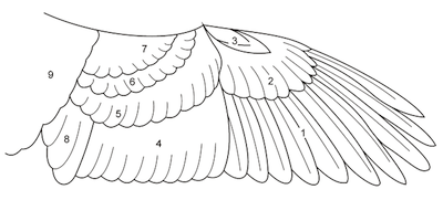 diagram of the different types of specialized feathers a bird needs for  flight 1  primary remiges 2  greater primary coverts 3  alula 4
