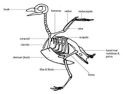 biology animal movement - shmoop biology, Skeleton