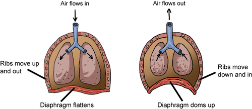 Biology animal respiration shmoop biology a diagram of ventilation in most mammals the left image shows inhalation with a flattened diaphragm the right side shows the dome shaped diaphragm forcing ccuart Images