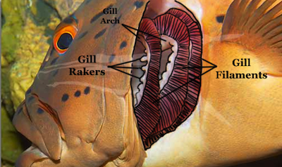 Animal respiration shmoop biology for Arches related to breathing gills in fish
