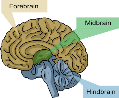 OpenBCI Brain Basics: Structure and Biology — The Autodidacts