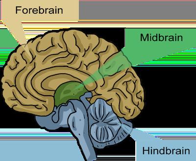 The Forebrain, Midbrain, and Hindbrain
