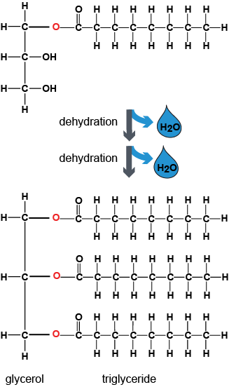 dehydration synthesis hydrolysis