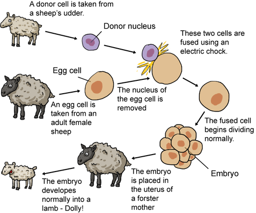 the biological and genetical process of cloning sheep Cloning dolly: how and why • the fertilised egg contains all of the genetic the cloning process enucleation of the recipient egg.