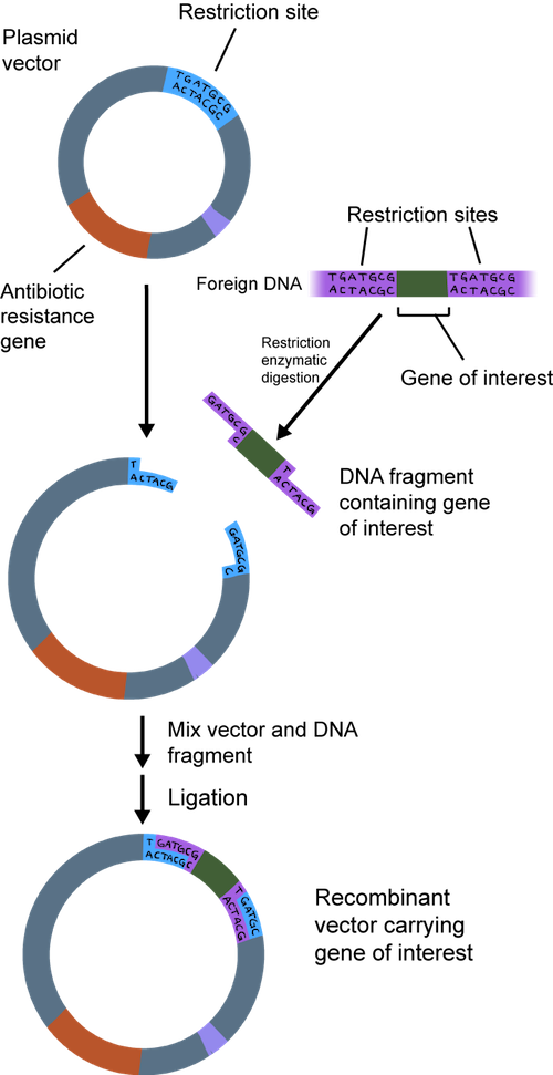 restriction enzymes research papers Restriction enzymes are one of the most important tools in the recombinant dna   since the early research of arber, smith, and others, scientists have isolated   different dna fragments was first illustrated in yet another classic paper, this.