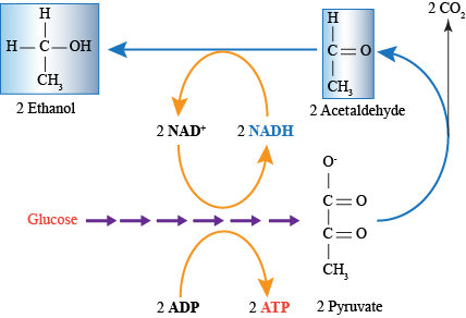 Biology Fermentation And Anaerobic Respiration Shmoop Biology