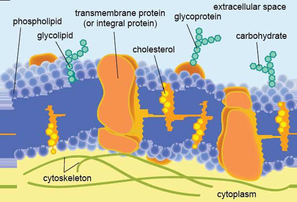 Biology The Plasma Membrane - Shmoop Biology
