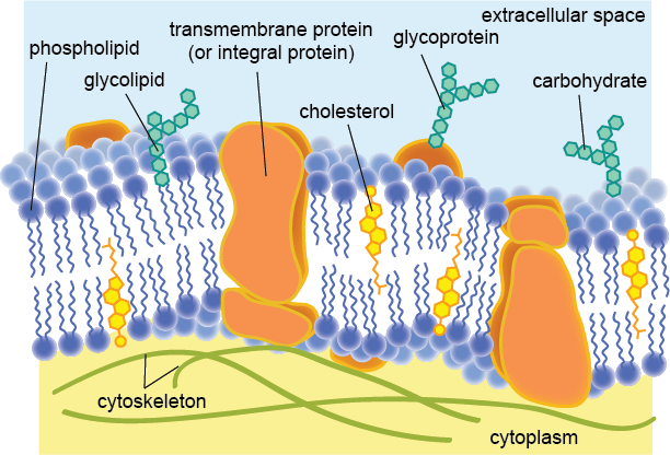 Glycolipids And Phospholipids