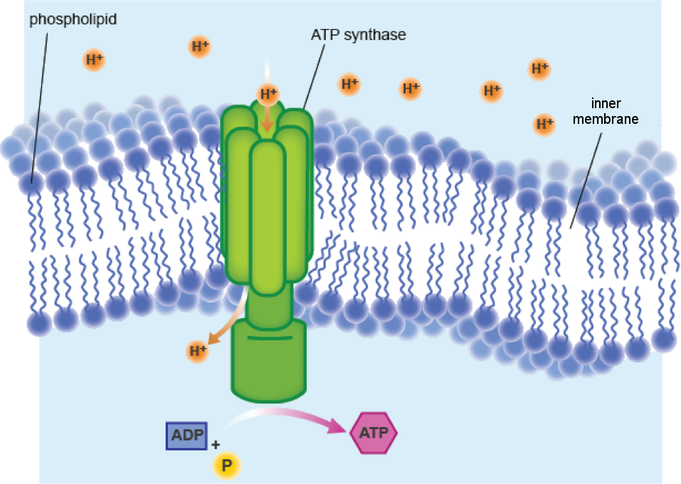 """""""A depiction of ATP synthase creating a channel across the inner membrane"""