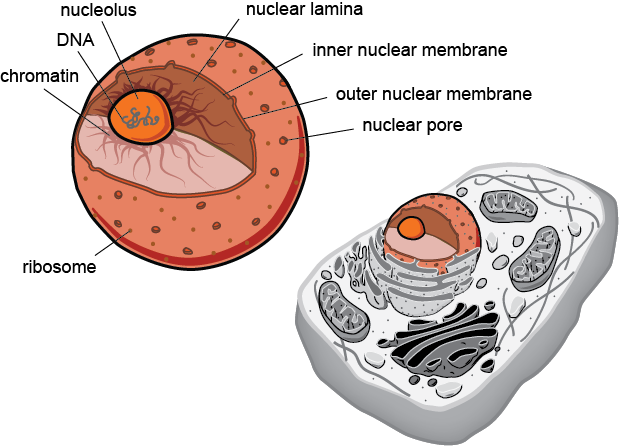 biology structures in all eukaryotic cells shmoop biology