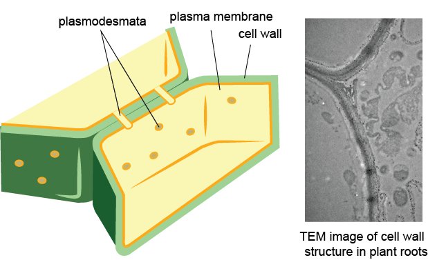 Structures Only In Plant  And Other  Cells