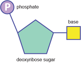 Biology the genetic code shmoop biology a nucleotide has 3 basic components solutioingenieria Choice Image