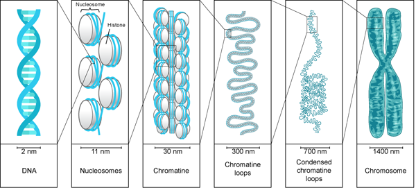 relationship between nucleosomes and histones charge
