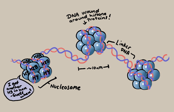 Dna Transcription Biology DNA Packaging ...