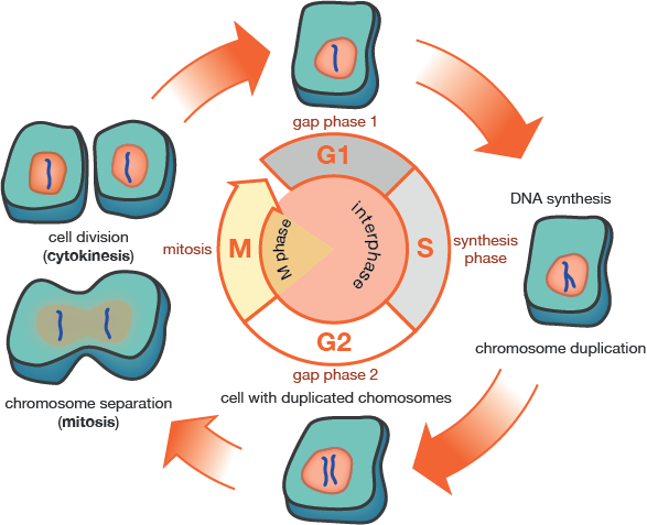 in what phase of mitosis is there sythesis and growth Some of these molecules are needed for general cell growth  the length of the  phases of mitosis and of dna synthesis remain roughly constant despite wide.