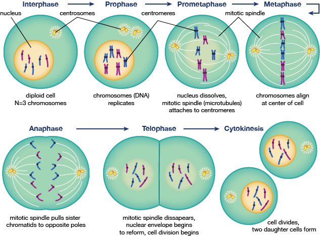Sythesis phase of mitosis