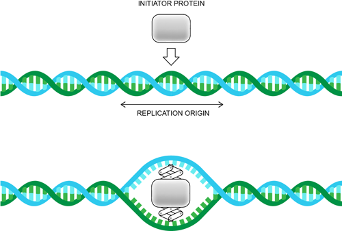 advantages of dna replicating exactly