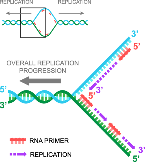 why does dna replicate itself