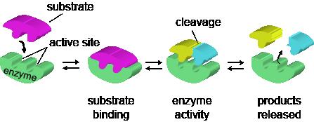 biology enzymes in detail shmoop biology : enzyme diagram - findchart.co