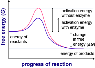 lower activation energy rate of reaction