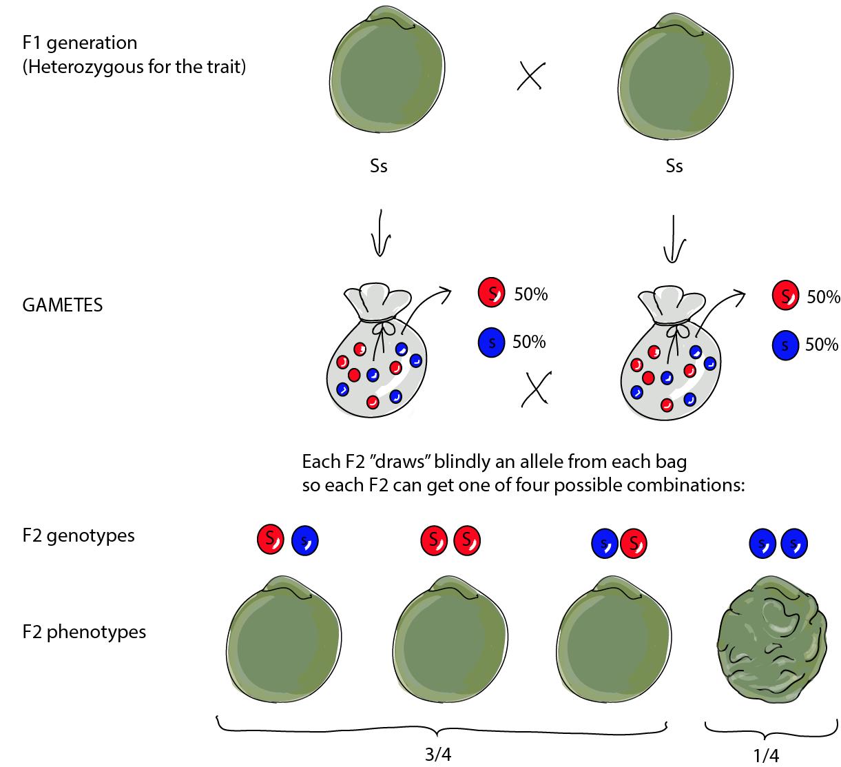 Biology Mendelian Genetics Shmoop Biology