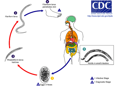 Biology fungi and parasite infections shmoop biology life cycle of hookworm image from here ccuart Image collections