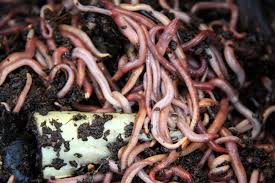A heap of earthworms and soil.