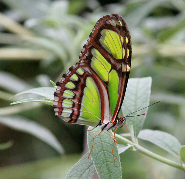 A photograph of a green and black winged butterfly.
