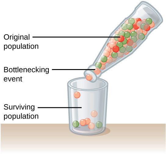 A schematic illustrating the bottleneck effect. A starting 'population' of red, orange, and green balls is in a glass bottle. Balls pour out the neck of the bottle, and the few individuals in the surviving population do not share the same proportion of colors as the original population.