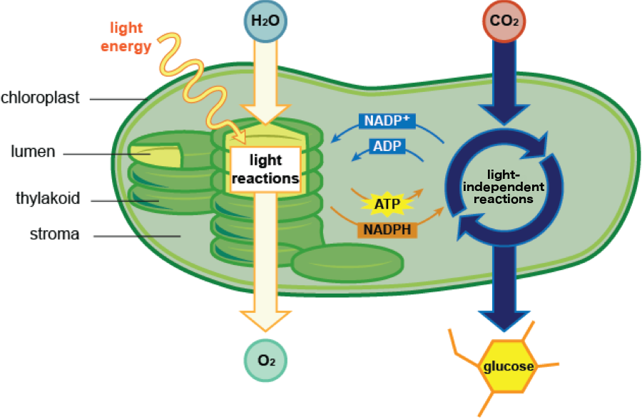 Biology Inputs And Architecture Of Photosynthesis Shmoop