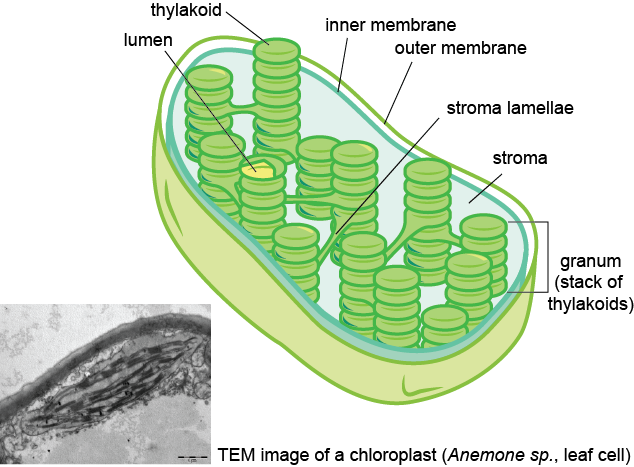 Biology the light dependent and light independent reactions shmoop here again is our friend the chloroplast all exposed the way he is he kind of reminds us of a boat with green checkers in it ccuart Gallery