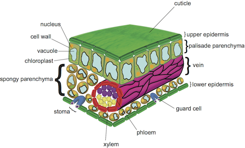 Biology leaf structure shmoop biology cells are not packed so tightly together which allows carbon dioxide and oxygen to reach the palisade cells where they are needed in photosynthesis ccuart Choice Image