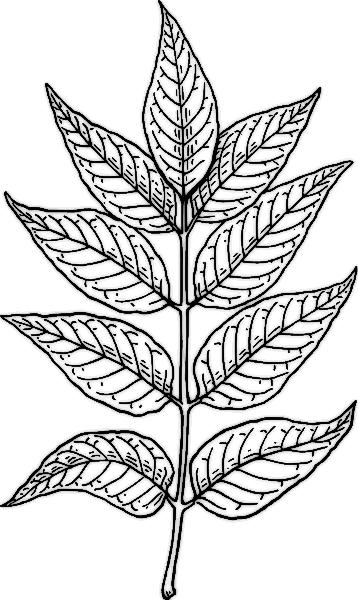 Biology Leaf Structure