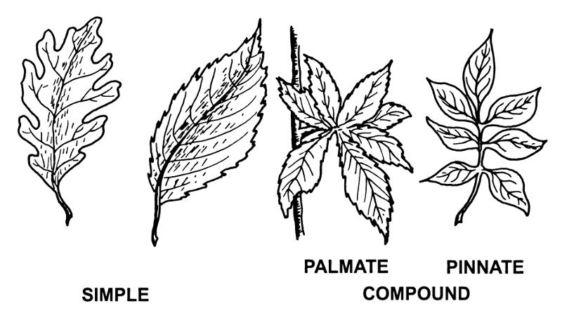 Biology Leaf Structure Shmoop Biology