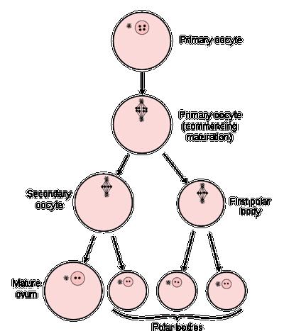 Biology Gametes - Shmoop Biology