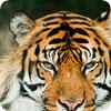 aunt jennifers tigers