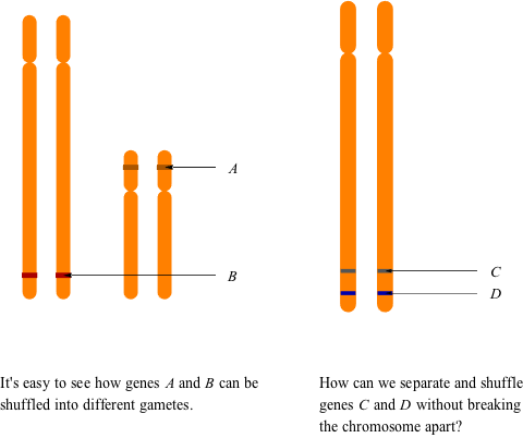 genetic linkage Learn genetic linkage biology with free interactive flashcards choose from 500 different sets of genetic linkage biology flashcards on quizlet.